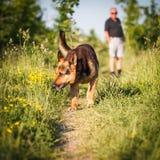 户外美丽的德国牧羊犬狗 免版税库存照片