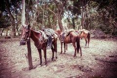 户外美丽的马在一个热带森林里 库存照片