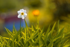 户外花黄水仙在庭院里 软绵绵地集中 免版税库存照片