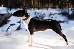 户外英国杂种犬狗在冬天 库存图片