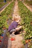 户外草莓农厂采摘草莓的一个幼儿 免版税库存照片