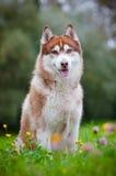 户外西伯利亚爱斯基摩人狗 免版税库存照片