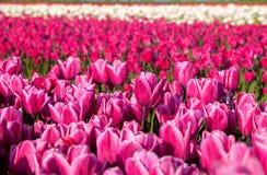 户外许多桃红色郁金香 免版税图库摄影