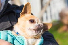 户外逗人喜爱的奇瓦瓦狗狗画象  免版税图库摄影