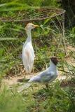 户外黑带头的鸥和牛背鹭 免版税库存图片