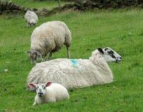 户外绵羊和羊羔在与石墙的领域 免版税库存图片