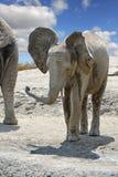 户外年轻非洲大象 库存照片