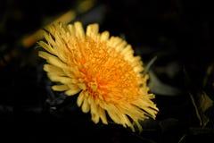 户外Macroflower自然花叶子特写镜头宏观美丽的春天黄色蒲公英 免版税图库摄影