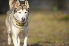 户外Sibirian多壳的狗 免版税图库摄影