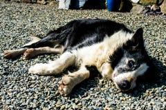 房客大牧羊犬有休息在以后困难的日子在工作 库存图片