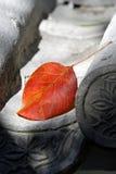 房檐叶子槭树 图库摄影