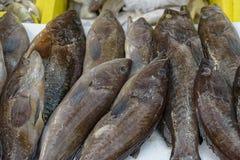 所在地,石栖息处,礁石鳕鱼,达喀尔,鲶科鱼 免版税库存照片