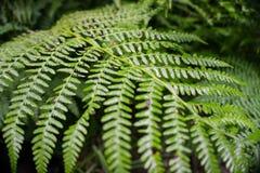 所有山毛榉丹麦深绿色叶子点燃在春天 图库摄影