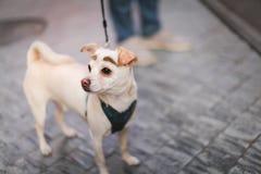 所有者和拉布拉多猎犬在城市尾随走 图库摄影