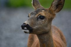 所有长大的Bambi 免版税图库摄影