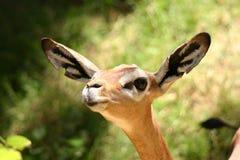 所有鹿耳朵gerenuk 免版税库存图片