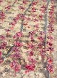 所有dof滴水叶子红色浅系统水 免版税库存图片