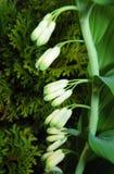 所罗门封印植物花蕾 库存图片