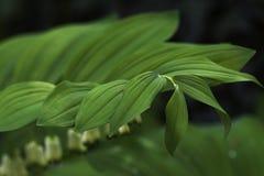 所罗门` s封印在一个遮荫庭院里,选择聚焦叶子  免版税库存图片