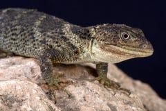 扁平头的瘤被称的蜥蜴(细长墨西哥蜥蜴platyceps) 免版税库存图片