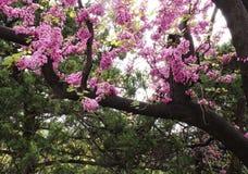 扁桃一个开花的分支在春天 开花的树早午餐照片与桃红色花的 免版税库存照片