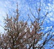 扁桃开花与蓝天有云彩背景 免版税库存照片