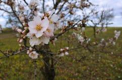 扁桃开花与蓝天有云彩背景 免版税库存图片