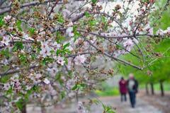 扁桃果树园 库存图片
