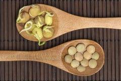 扁豆发芽的和扁豆 图库摄影