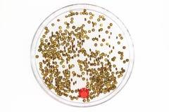 扁豆发芽种子  库存照片