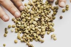 扁豆种子在白色背景 在交配动物者的手上 免版税库存图片