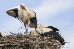 扇动在巢的白色鹳自已 库存图片