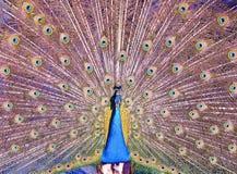 扇动它的羽毛的印地安孔雀 库存照片