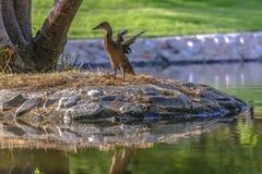扇动它的翼传播的鸭子 库存图片
