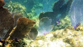扇动珊瑚 免版税库存图片