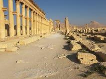扇叶树头榈叙利亚 免版税图库摄影