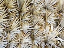 扇叶树头榈棕榈叶设计 库存照片