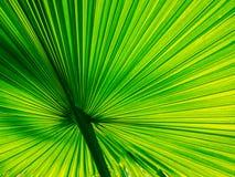 扇形棕榈有美好的线 免版税库存图片