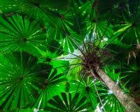 扇形棕榈树木天棚 库存照片