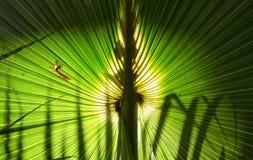 扇形棕榈,佛罗里达 免版税库存照片