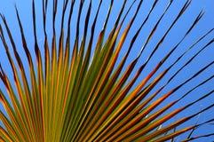 扇形棕榈 免版税图库摄影
