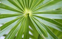 扇形棕榈 免版税库存照片