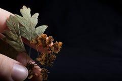 手中一片不同干燥的叶子 免版税库存照片