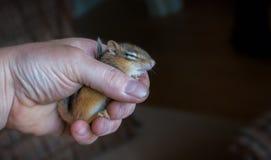 手中受伤的迟钝的年轻的花栗鼠对负 库存图片