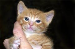 手中橙色和白色姜平纹的小猫对负 免版税图库摄影