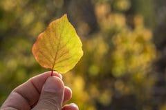 手中秋天黄色的叶子 库存图片