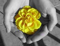 手中Yelow玫瑰色的花 库存图片