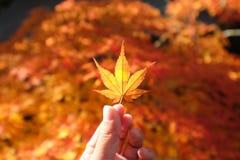 手举行一片红槭叶子 免版税图库摄影