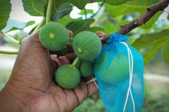 手举行在它的树的无花果果子 免版税库存照片