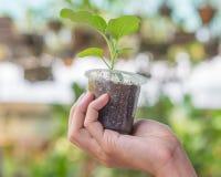 手举行年幼植物新芽 库存图片
